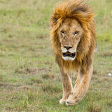 Adult Male Lion Running Stock Image
