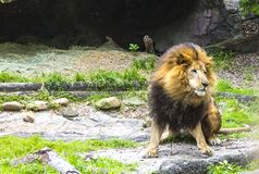 Stalking Lion in Search of Prey. An adult male lion studies potential prey Royalty Free Stock Photo