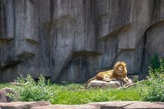 Adult Male Lion sunning on a Rock Milwaukee County Zoo, Wisconsin royalty free stock photography