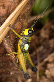Adult male locust woody. Stock Photo