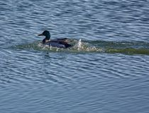 Adult male mallard swimming. Adult male mallards on a frozen river in wintertime Royalty Free Stock Photography