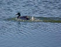 Adult male mallard swimming Royalty Free Stock Photography