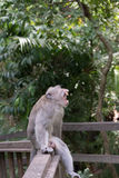 Adult Male. Monkey showing some agression royalty free stock photos