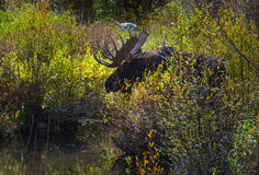 Adult Male Moose in the Conundrum Creek Colorado. Moose Feeding in the Conundrum Creek Colorado Royalty Free Stock Photos