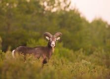 Adult male Mouflon. An adult male Mouflon (Ovis orientalis) half hidden in dense vegetation stock photography