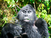 Adult male mountain gorilla - silverback - eating green leafs. Bwindi Impenetrable Forest, Uganda, Africa Stock Photo