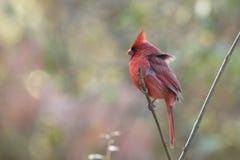 Adult male Northern Cardinal Cardinalis cardinalis stock photography