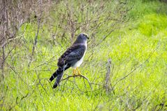 Adult male Northern Harrier resting, Hayward Shoreline Regional Park, California royalty free stock image