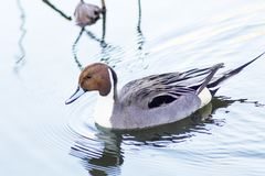 An Adult Northern Pintail Duck Paddling at Dawn royalty free stock image