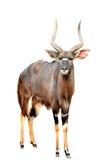 Nyala isolated on white background Stock Image