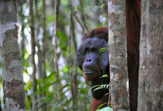 The adult male of the Orangutan. Stock Photos