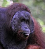 The adult male of the Orangutan. Royalty Free Stock Image