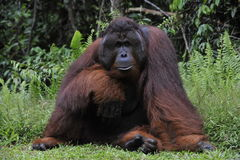 The adult male of the Orangutan. Portrait of the adult male of the orangutan in the wild nature. Island Borneo. Indonesia Royalty Free Stock Images