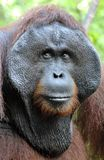 The adult male of the Orangutan in the bush. Adult male of the orangutan in the wild nature. Royalty Free Stock Photo