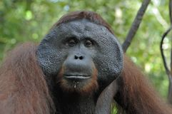 The adult male of the Orangutan in the bush. Adult male of the orangutan in the wild nature. Stock Images