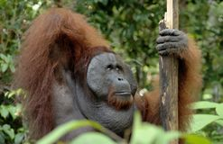 The adult male of the Orangutan in the bush. Adult male of the orangutan in the wild nature. Stock Photos