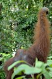 The adult male of the Orangutan in the bush. Adult male of the orangutan in the wild nature. Stock Image