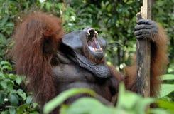 The adult male of the Orangutan in the bush. Adult male of the orangutan in the wild nature. Stock Photo