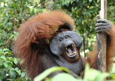 The adult male of the Orangutan in the bush. Adult male of the orangutan in the wild nature. Stock Photography