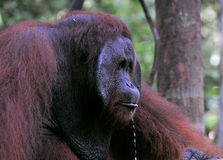 Adult male of the orangutan with droplets. Stock Photo