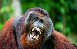 The adult male of the Orangutan. The orangutan yawns, widely having opened a mouth and showing canines. The Bornean orangutan (Pongo pygmaeus Royalty Free Stock Photo