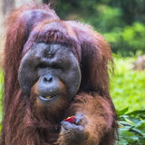 The adult male of the Orangutan in the wild nature. Island Borne Royalty Free Stock Photo