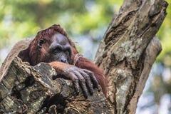 The adult male of the Orangutan in the wild nature. Island Borne Stock Image