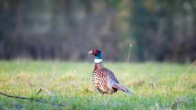 Adult male pheasant in winter Royalty Free Stock Images