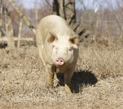 An Adult Male Pig roams the yard. Stock Photography