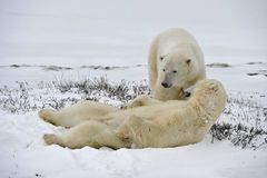 The adult male  polar bear (Ursus maritimus) Stock Photos