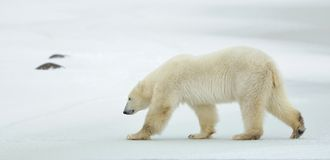 The adult male polar bear (Ursus maritimus) walking on snow. Stock Images
