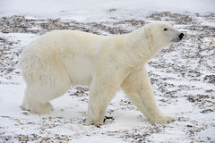 The adult male polar bear (Ursus maritimus) walking on snow. Tundra in winter. Canada stock photo
