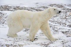 The adult male  polar bear (Ursus maritimus)  walking on snow. Stock Photo