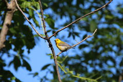 Adult Male Prothonotary Warbler Royalty Free Stock Images