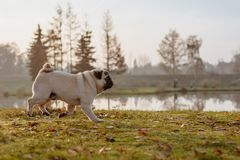 An adult male pug, dog is running in a park on an autumn, sunny day during golden hour, with a lake in the background royalty free stock image