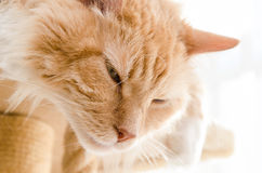 Adult male purebred Siberian cat sleeps. At home Stock Photos