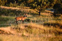 Adult male red deer Stock Photo