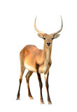 Red lechwe isolated on white background Royalty Free Stock Photography