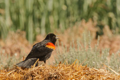 Red-Winged Blackbird. Adult Male Red Winged Blackbird Chirping and Displaying Stock Photos