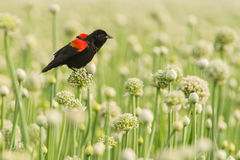 Blackbird. Adult Male Red Winged Blackbird Displaying Perched on Allium Seed Pod stock image