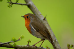 Adult male robin Stock Images