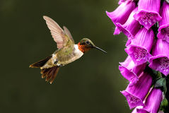 Adult male Rufous hummingbird Stock Photography