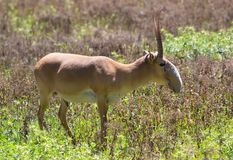 Adult male saiga. Stands in the steppe Royalty Free Stock Photos