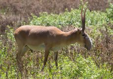 Adult male saiga. Stands in the steppe Royalty Free Stock Image