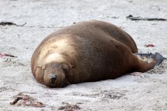 A adult male sea lion drying on the beach in South Australia. A adult male sea lion on the beach at Seal Bay Kangaroo Island Royalty Free Stock Photos