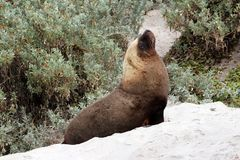 A mammal male sea lion at Seal Bay in Kangaroo Island. A adult male sea lion at kangaroo island in australia Stock Photography