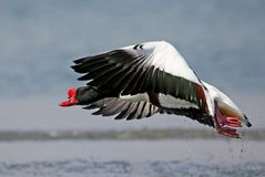 Adult male shelduck filmed  during take off. To flight on a blurred  background Stock Image