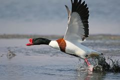 Adult male shelduck filmed  during take off. To flight on a blurred  background Royalty Free Stock Images