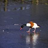 An adult male Shelduck (Tadorna tadorna). An adult male Shelduck (Tadorna tadorna) walking across a frozen lake and looking at its own reflection in the ice Stock Image