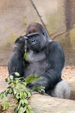 Adult male silverback gorilla. A large male gorilla eating and thinking Stock Images